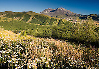 Oxeye Daisy (Leucanthemum vulgare or Chrysanthemum leucanthemum) and Mt. St. Helens. Mt. St. Helens National Volcanic Monument, Washington, US