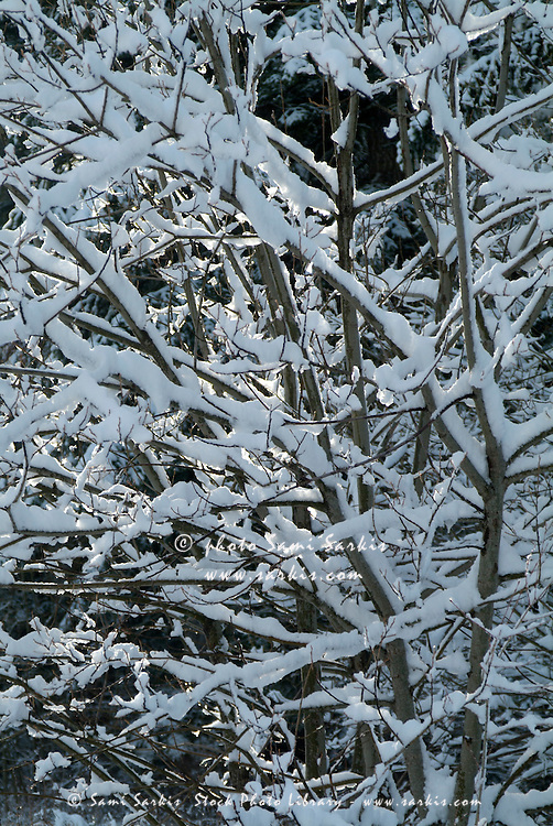 Bare tree branches covered in snow, French Alps, France.