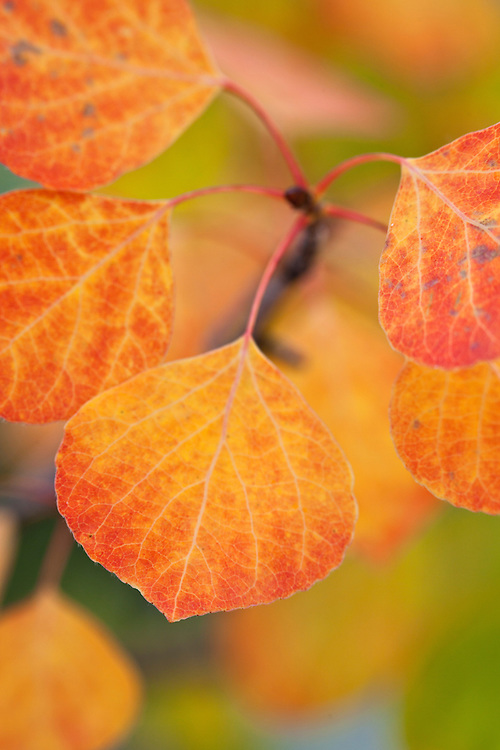 Autumn color of aspen (Populus tremuloides) leaves