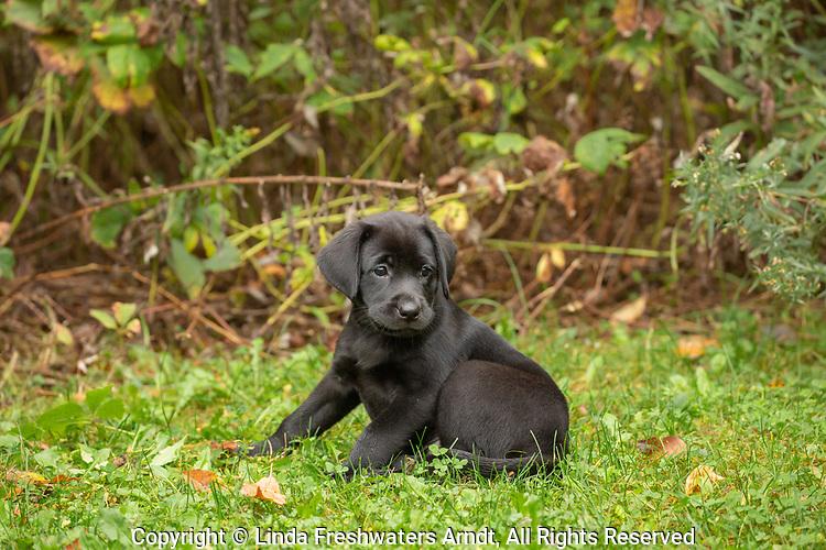 Black Labrador retriever puppy sitting in the grass.