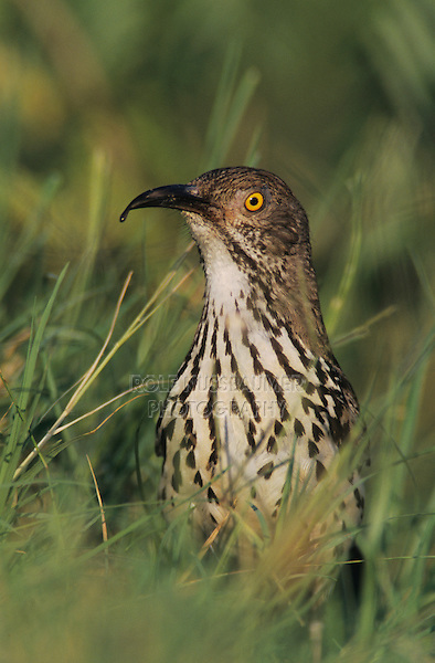 Long-billed Thrasher, Toxostoma longirostre, adult, Lake Corpus Christi, Texas, USA, May 2003