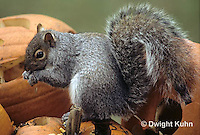 MA23-099z  Gray Squirrel - eating pumpkin seeds  - Sciurus carolinensis