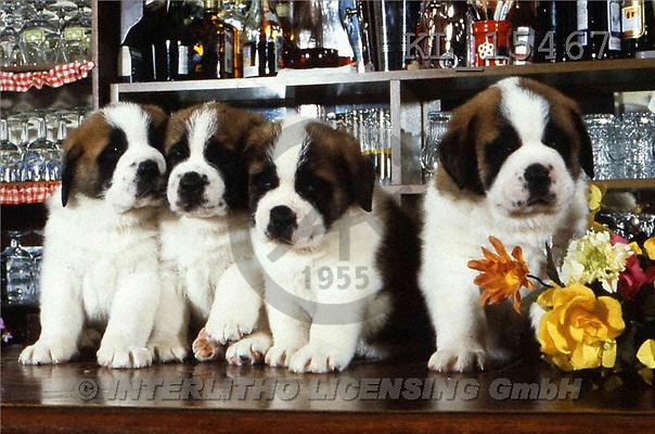Interlitho, Alberto, ANIMALS, dogs, photos, 4 bernhards, bar(KL15467,#A#) Hunde, perros