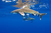 oceanic whitetip sharks, Carcharhinus longimanus, with pilot fish, Naucrates ductor, off the Kona Coast of Hawaii Island (the Big Island), Hawaiian Islands (Central Pacific Ocean)