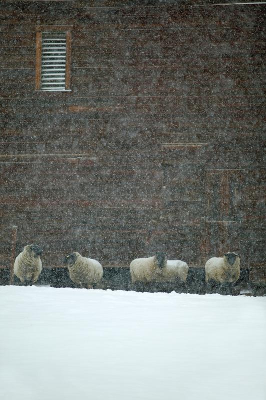 Sheep next to barn in snowstorm. Near Enterprise, Oregon