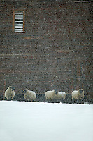 Sheep next to barn in snowstorm. Near Enterprise, Oregon