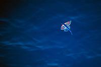 flying fish, flying, Family: Exocoetidae, Pacific Ocean