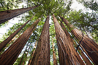 Redwood Trees, Sequoia sempervirens, in Muir Woods National Monument old growth forest