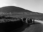 Farmers carry their hay bakc to their farms near Dingle in Count Kerry in the 1950's..Photo: macmonagle.com archive