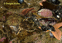 1C34-521z  Common Spider Crab camouflaged among tide pool animals, Libinia emarginata