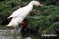 DG20-101z  Pekin Duck - adult leaving pond