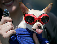 Chihuahua3.jpg<br /> Lily the Chihuahua,  of Hacienda Heights, dresses up for the PETCO Chihuahua races. More than 240 Chihuahua took part in the regional races which sends the winner to the championships to be held at PETCO park August 31 in San Diego, CA. <br /> Photo by Michael Kitada. 4.26.2008
