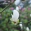 Magnolia 'Lu Shan', early April. Named after Lu Shan Botanic Garden in China.