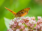 Spangled fritillary butterfly.