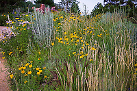 Yellow flower Mexican Hat (Ratibida columnifera) with Wheat grass (Agropyron or Pascopyrum smithii) and Chamisa in Colorado meadow garden lawn substitute; design by Tom Peace