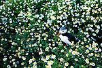 Atlantic Puffin (Fratercula arctica) in flower field, Skomer Island National Nature Reserve, Skomer Island, Pembrokeshire, Wales, United Kingdom