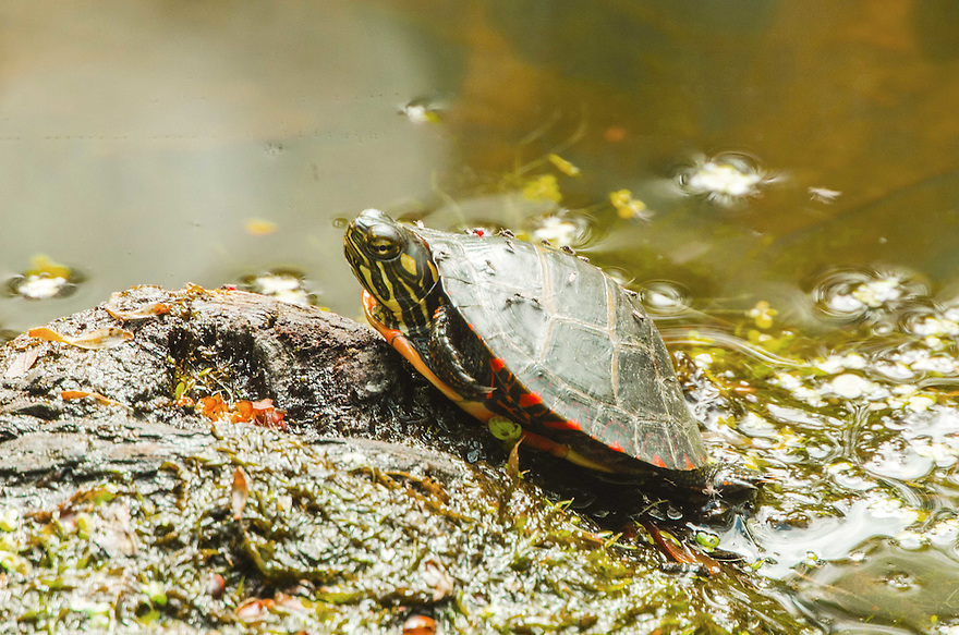 A young Painted Turtle basking in warm spring sun.