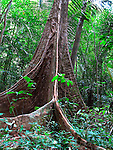 Rainforest tree buttress roots, Thailand