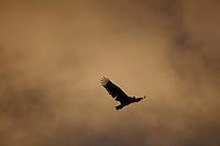 White tailed sea eagle Haliaeetus albicilla in flight, Arctic Norway