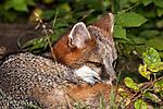 Gray Fox, medium shot laying down closing eyes