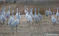0102-1001  Flock of Sandhill Cranes Eating in Field during Winter, Grus canadensis  © David Kuhn/Dwight Kuhn Photography