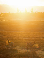 Elk soak in the sunrise on Swan Lake Flat.
