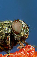 1H09-017z  House Fly - adult on tomato - Musca domestica