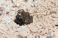 Wegwespe, mit erbeuteter Spinne, Beute, zieht gelähmte Spinne in ihre Neströhre im Sand, Nest , Niströhre, Röhre, Weg-Wespe, Arachnospila spec., spider wasp, Wegwespen, Pompilidae, pompilids, spider-hunting wasps, spider wasps