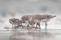 Juvenile Hudsonian Godwits (Limosa haemastica) and Short-billed Dowitchers feeding together during fall migration in Alaska. Bristol Bay, Alaska.