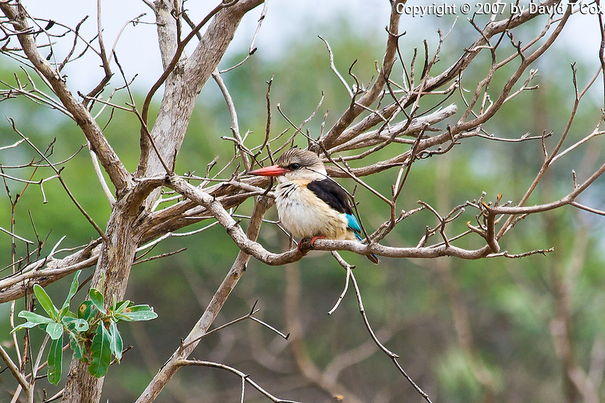 Brown-hooded Kingfisher, Mkuze Game Reserve, SA