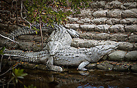 Pair of American Crocodiles on bank at Florida Bay in Everglades National Park