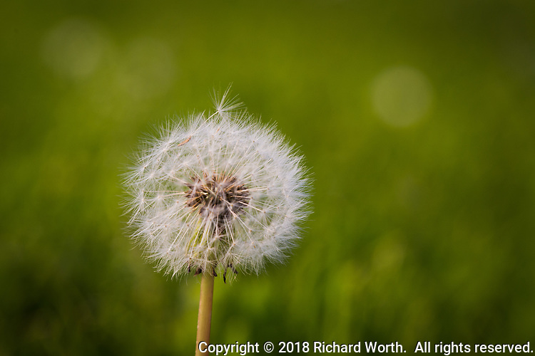 A single seed, with parachute, rests atop a seed head full of seeds and 'chutes, against a soft green background with room for text.