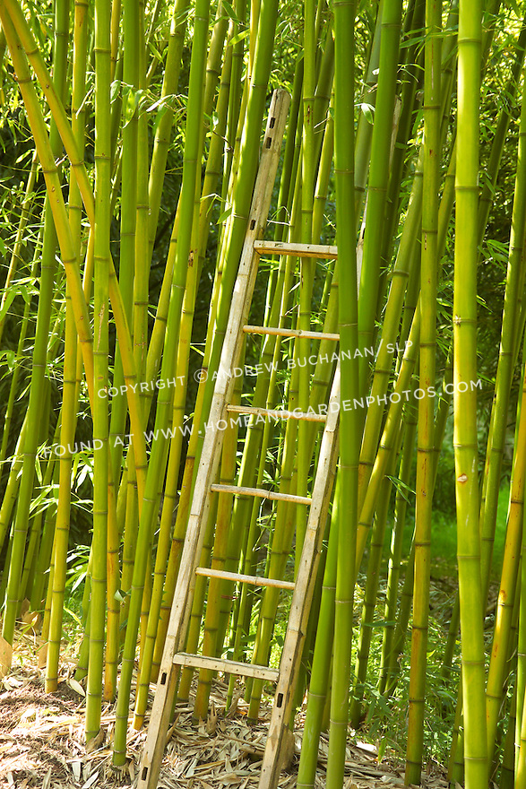 """Tall-growing Rubro bambooo, Phyllostachys rubromarginata, can reach 55' tall in its native habitat, with each culm, or stalk, reaching nearly 3"""" in diameter.  Rubro bamboo is noted for the quality of its wood, as evidenced here by the ladder made from its stalks, and its shoots are edible and tender."""
