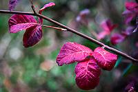 Red leaves speak of autumn along MacDonald Trail in Redwood Regional Park, Oakland, California.