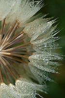 Gele morgenster (Tragopogon pratensis subsp. pratensis), bedauwd zaadpluis