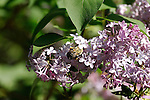 Insects- Bees