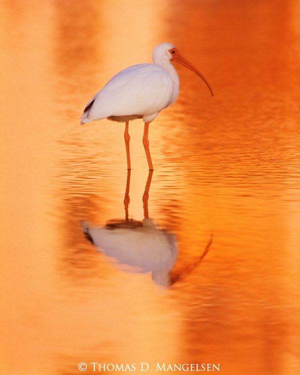 A white ibis stands in shallow water where it can feed.
