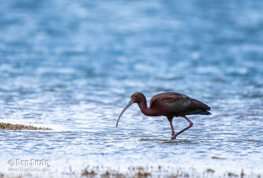 A White-faced Ibis, Plegadis chihi, stands in shallow water at the shore of Patagonia Lake in Patagonia Lake State Park, Arizona