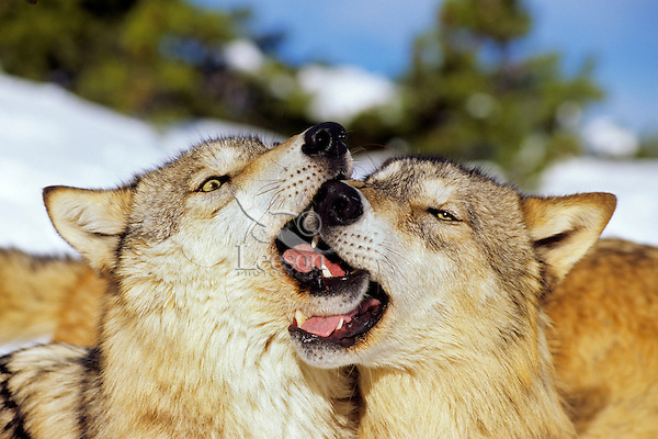 Two Gray Wolves (Canis lupis) greeting one another.