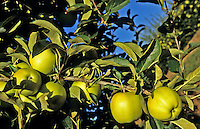 Crop of Golden Delicious apples on tree in commercial orchard plantation..