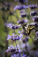 A yellow and black butterfly visits a purple flower on a spring afternoon.