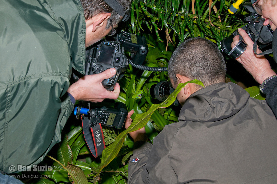 Photographers surround a blue-sided treefrog or coffee frog, Agalychnis annae, an endangered species.  A small population has been established in the gardens of the Hotel Bougainvillea, San Jose, Costa Rica.