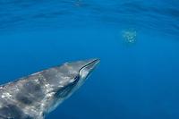 Bryde's whale, Balaenoptera brydei or Balaenoptera edeni, approaches a baitball of sardines, Sardinops sagax, to feed, off Baja California, Mexico ( Eastern Pacific Ocean ) (dm)