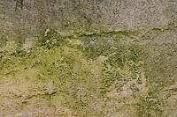 Grünalgenbelag, Grünalgen-Belag, Grünalgen, Grünalge, veralgt, Chlorophyta, Chlorophyceae, green alga, green algae