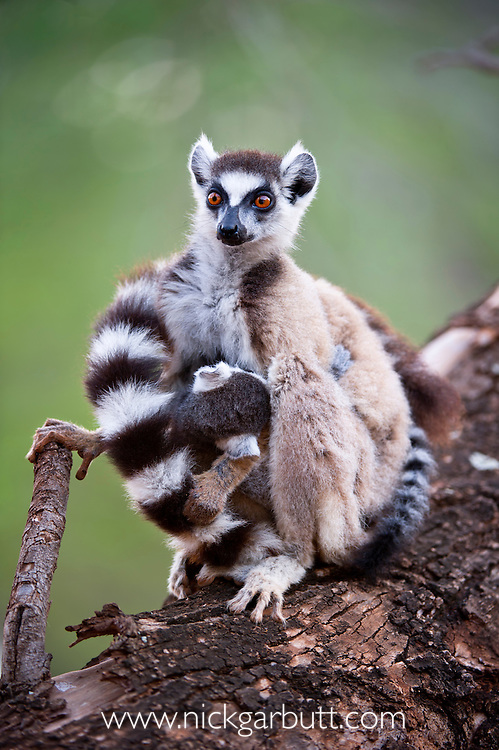 Ring-tailed Lemur (Lemur catta) with infant  suckling. Berenty Private Reserve, southern Madagascar.