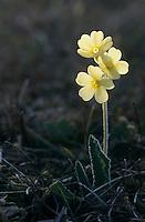 Oxlip, Primrose, Primula elatior, blooming, Oberaegeri, Switzerland, Europe