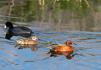 Male and female Cinnamon Teals, Anas cyanoptera, swim past an American Coot, Fulica americana, at Lower Klamath National Wildlife Refuge, Oregon