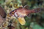 Astrapogon alutus, Bronze cardinalfish, Florida Keys