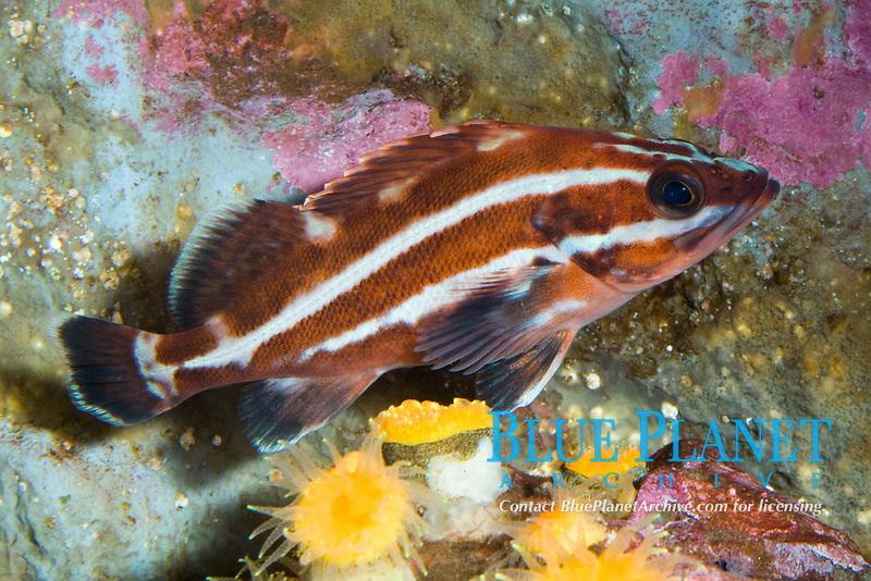 Yelloweye Rockfish (Sebastes ruberrimus) (c)
