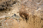 Royle's pika (Ochotona roylei) on a rocky slope.  Himalayas, Ladakh, northern India.
